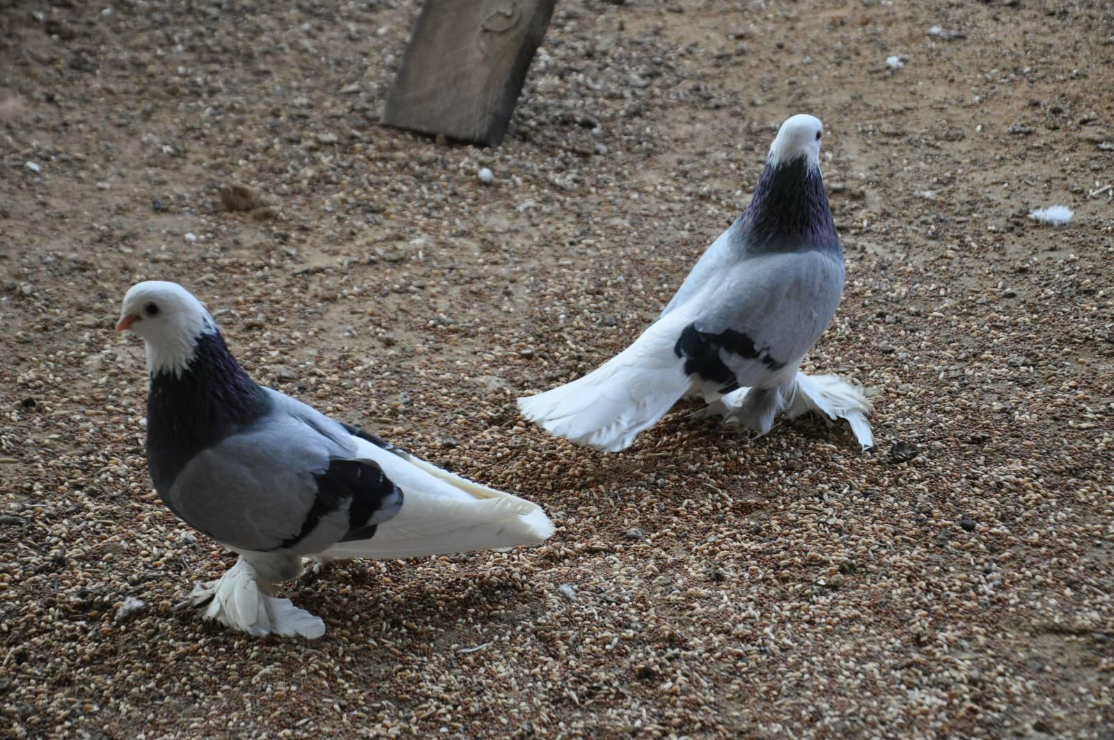 Армавирские голуби