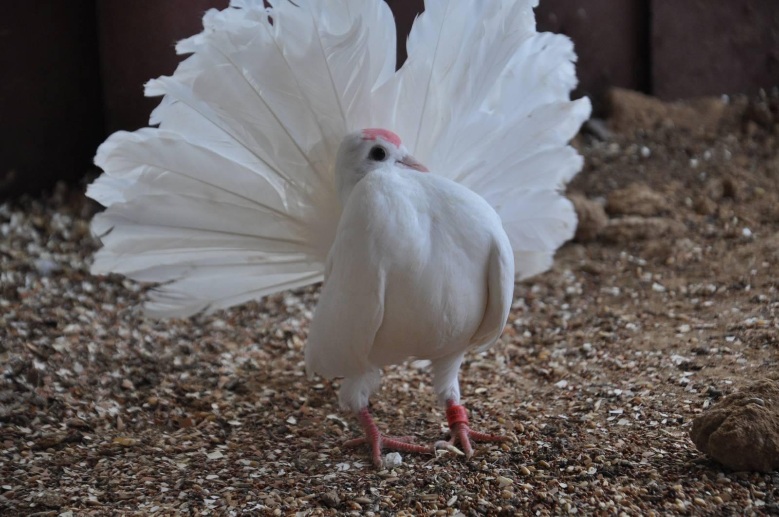 Картинки павлиний голубь