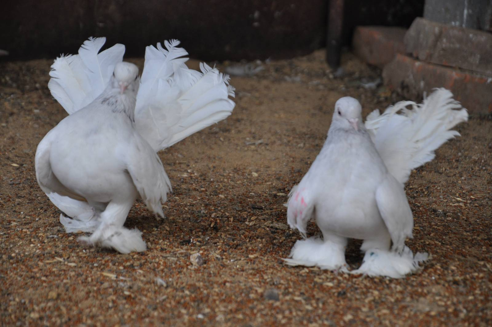голуби статные фотографии видео фото
